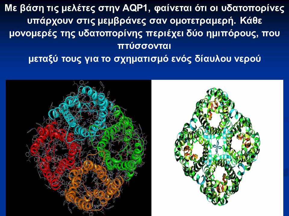 Με βάση τις μελέτες στην AQP1, φαίνεται ότι οι υδατοπορίνες