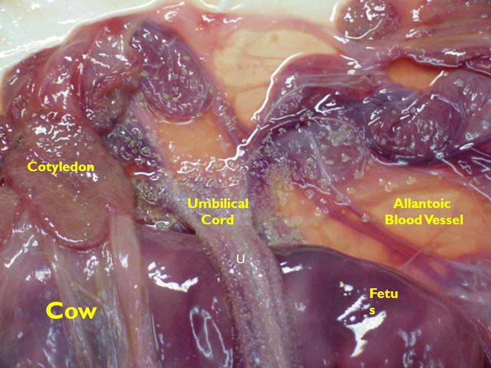 Cotyledon Umbilical Cord Allantoic Blood Vessel U Fetus Cow