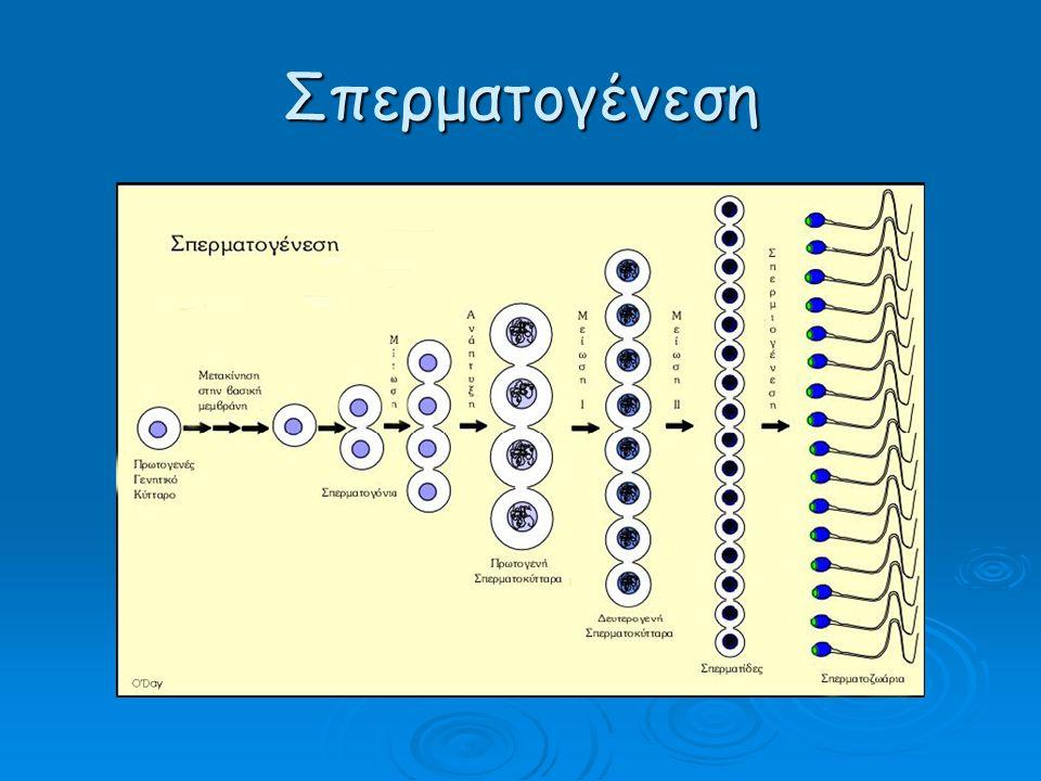 Σπερματογένεση