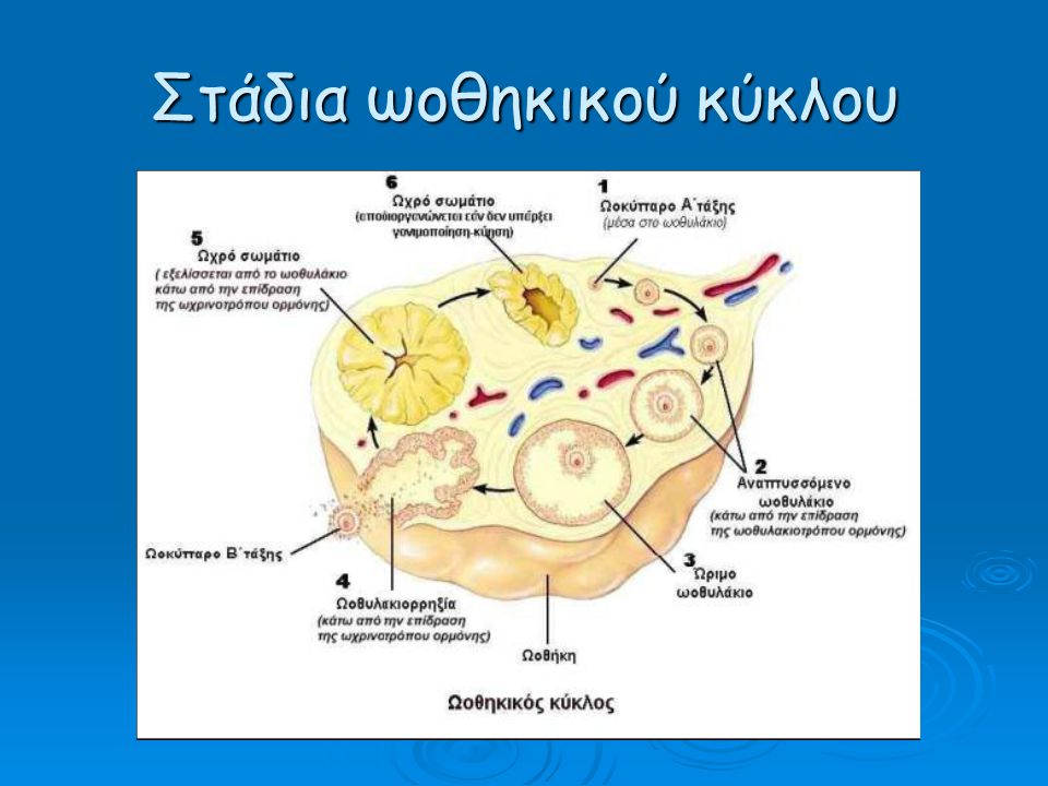 Στάδια ωοθηκικού κύκλου