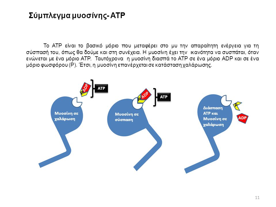 Σύμπλεγμα μυοσίνης- ΑΤΡ