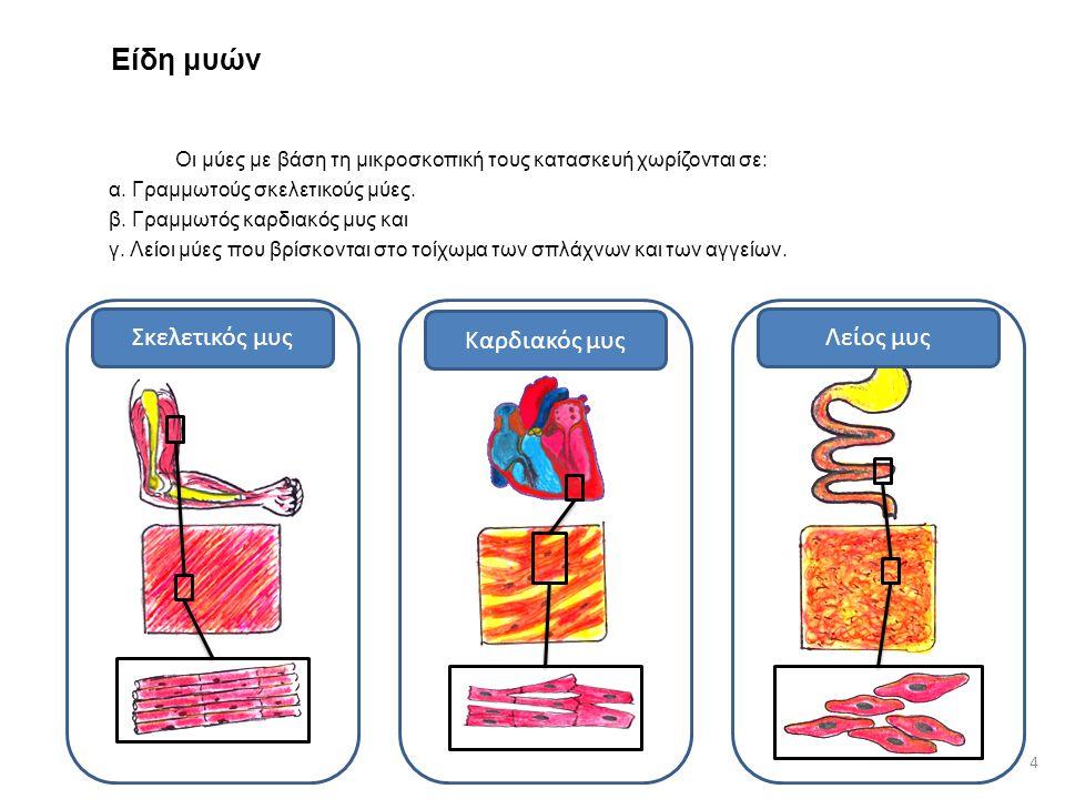 Είδη μυών Σκελετικός μυς Καρδιακός μυς Λείος μυς