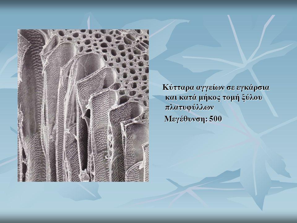 Κύτταρα αγγείων σε εγκάρσια και κατά μήκος τομή ξύλου πλατυφύλλων