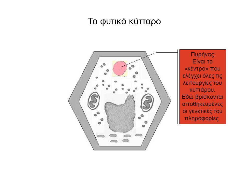 Το φυτικό κύτταρο Πυρήνας: