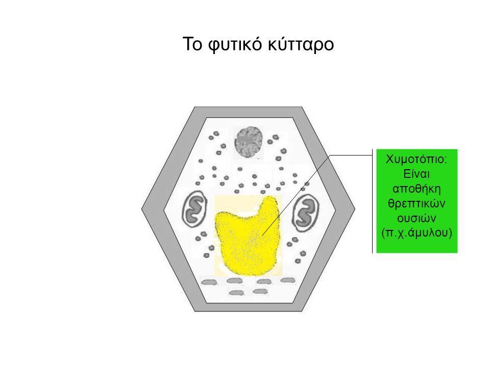 Χυμοτόπιο: Είναι αποθήκη θρεπτικών ουσιών (π.χ.άμυλου)
