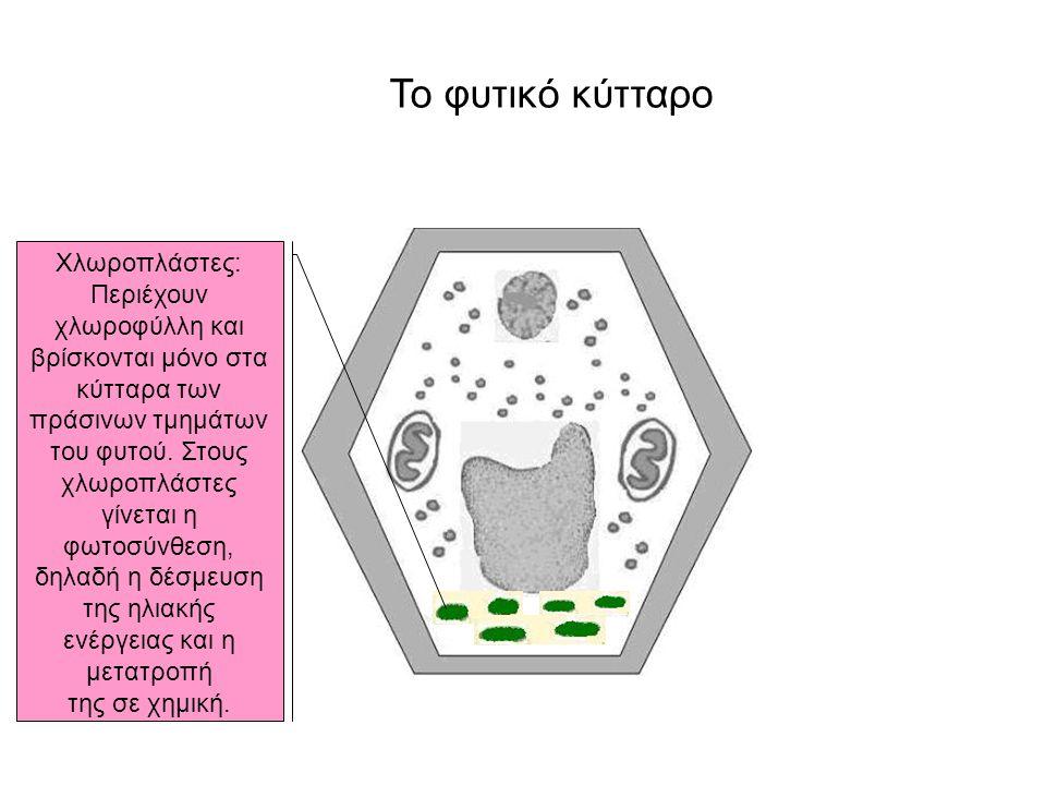Το φυτικό κύτταρο Χλωροπλάστες: Περιέχουν χλωροφύλλη και