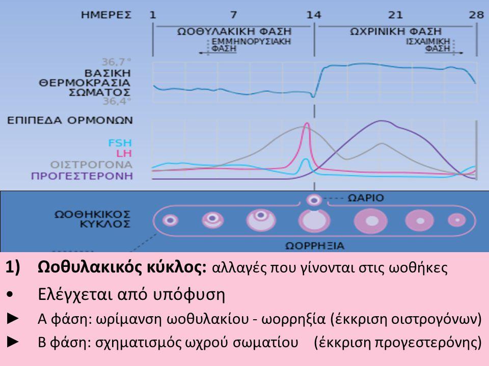 Ωοθυλακικός κύκλος: αλλαγές που γίνονται στις ωοθήκες