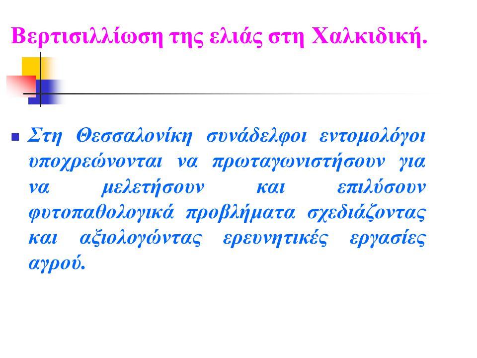 Βερτισιλλίωση της ελιάς στη Χαλκιδική.