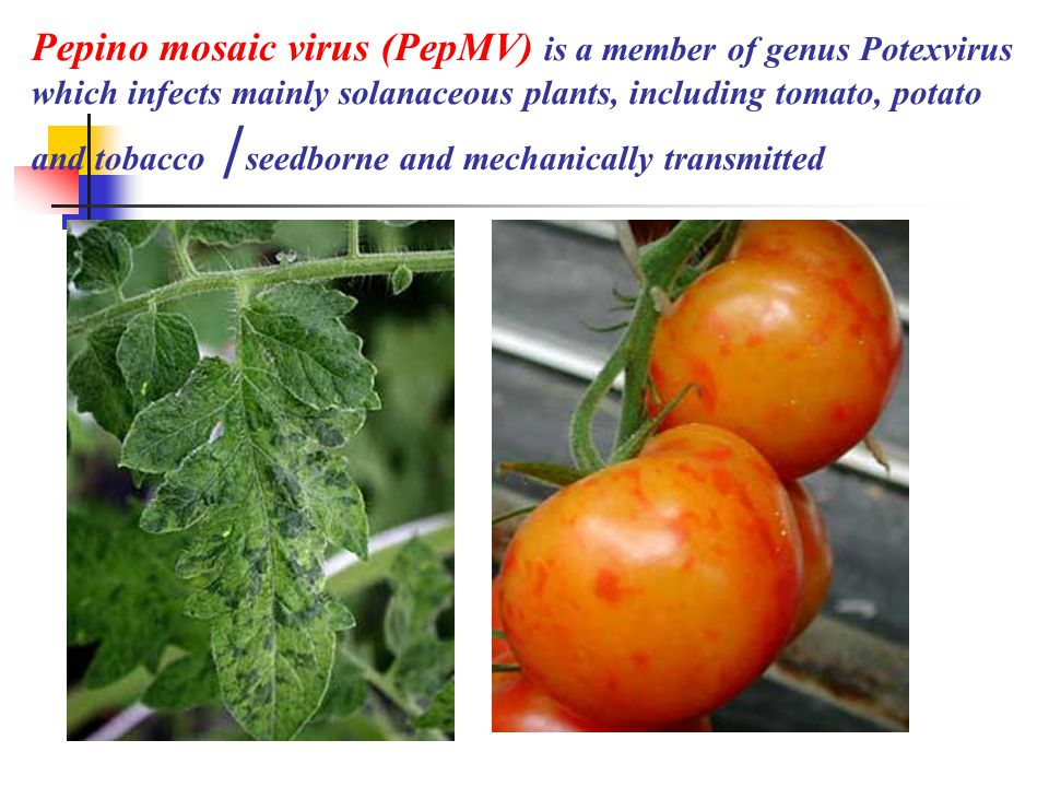 Pepino mosaic virus (PepMV) is a member of genus Potexvirus which infects mainly solanaceous plants, including tomato, potato and tobacco /seedborne and mechanically transmitted