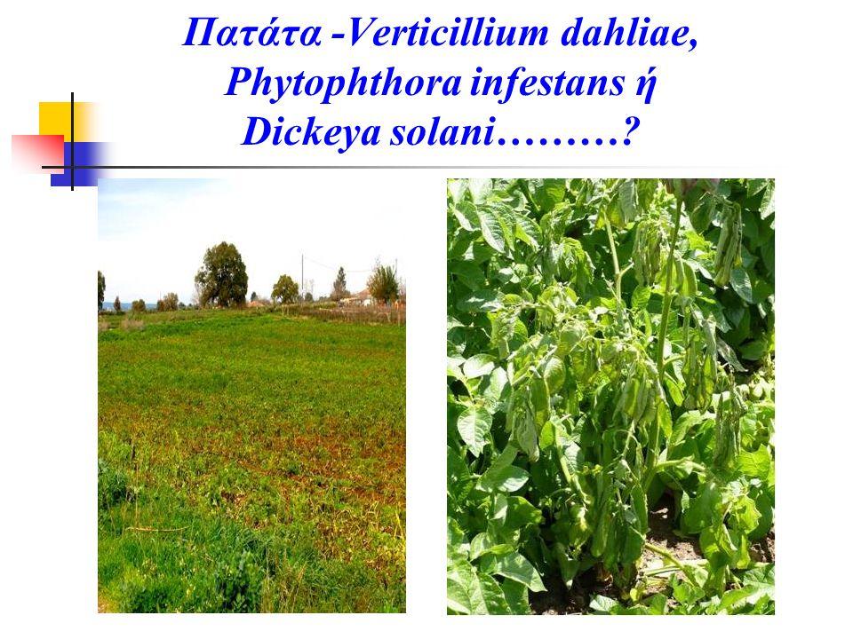 Πατάτα -Verticillium dahliae, Phytophthora infestans ή Dickeya solani………