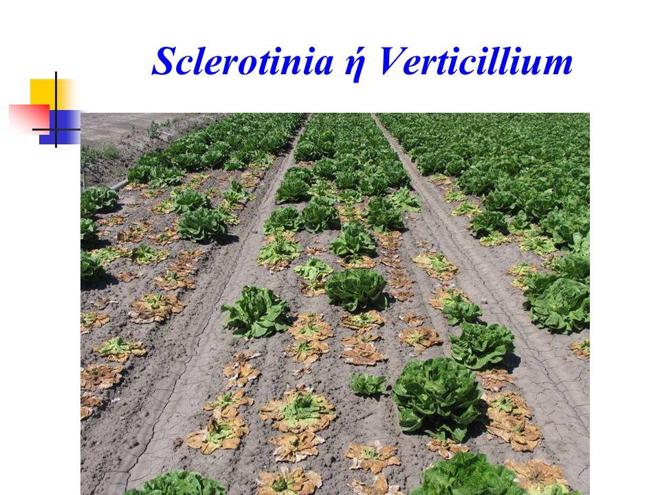 Sclerotinia ή Verticillium