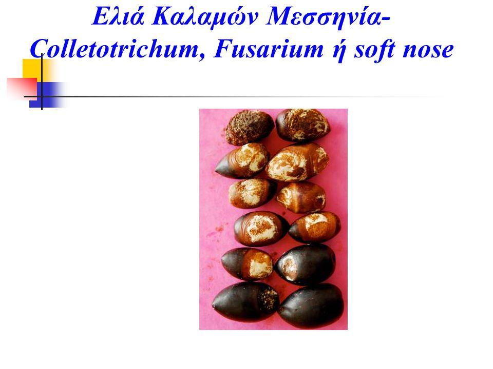 Ελιά Καλαμών Μεσσηνία-Colletotrichum, Fusarium ή soft nose