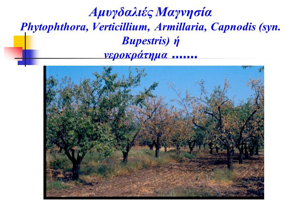 Αμυγδαλιές Μαγνησία Phytophthora, Verticillium, Armillaria, Capnodis (syn.