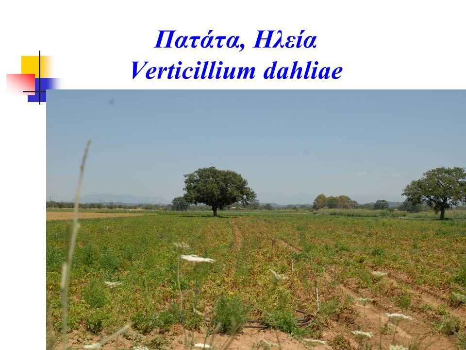 Πατάτα, Ηλεία Verticillium dahliae