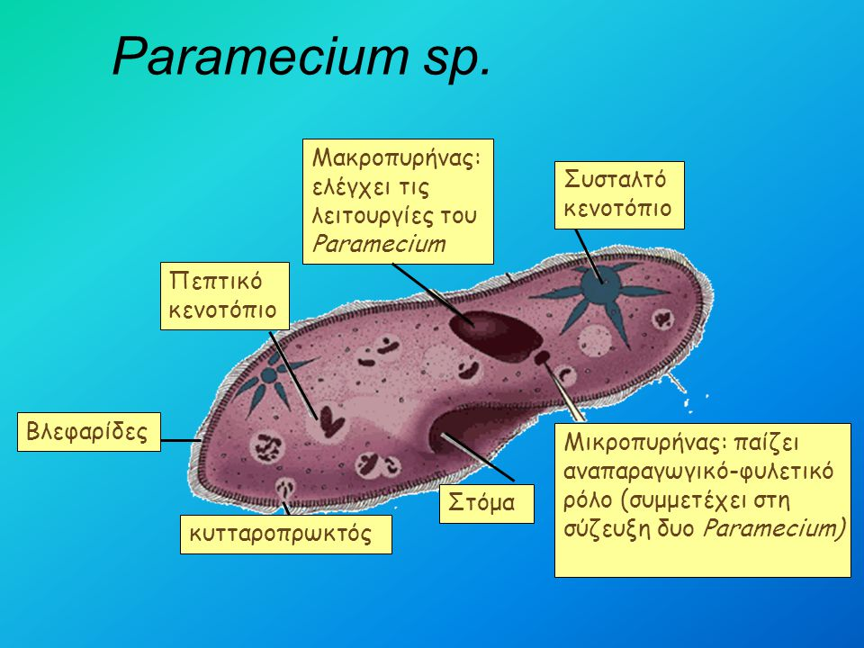 Paramecium sp. Μακροπυρήνας: ελέγχει τις λειτουργίες του Paramecium