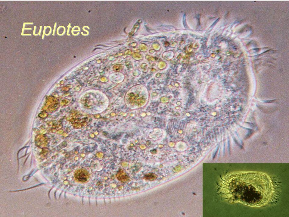 Euplotes