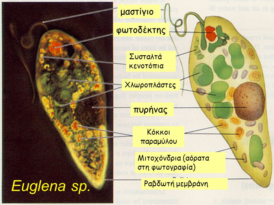 Euglena sp. μαστίγιο φωτοδέκτης πυρήνας Συσταλτά κενοτόπια