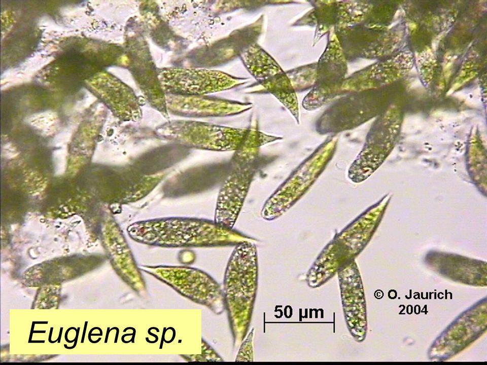 Euglena sp.