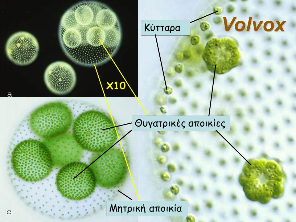 Volvox Κύτταρα X10 Θυγατρικές αποικίες Μητρική αποικία