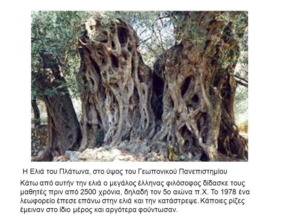 Η Ελιά του Πλάτωνα, στο ύψος του Γεωπονικού Πανεπιστημίου