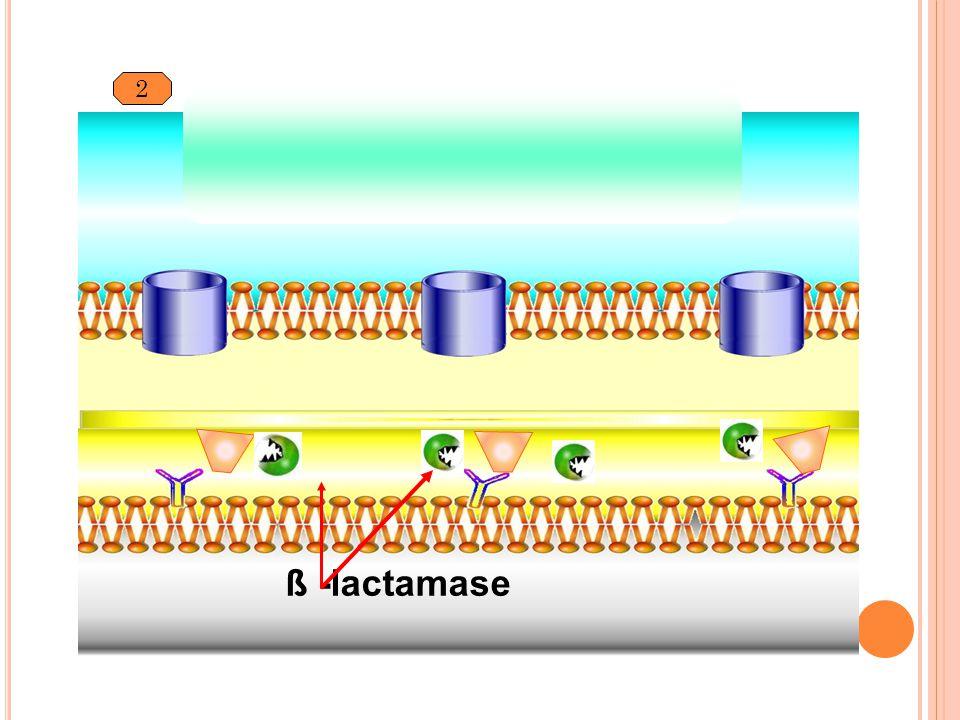 2 ß -lactamase