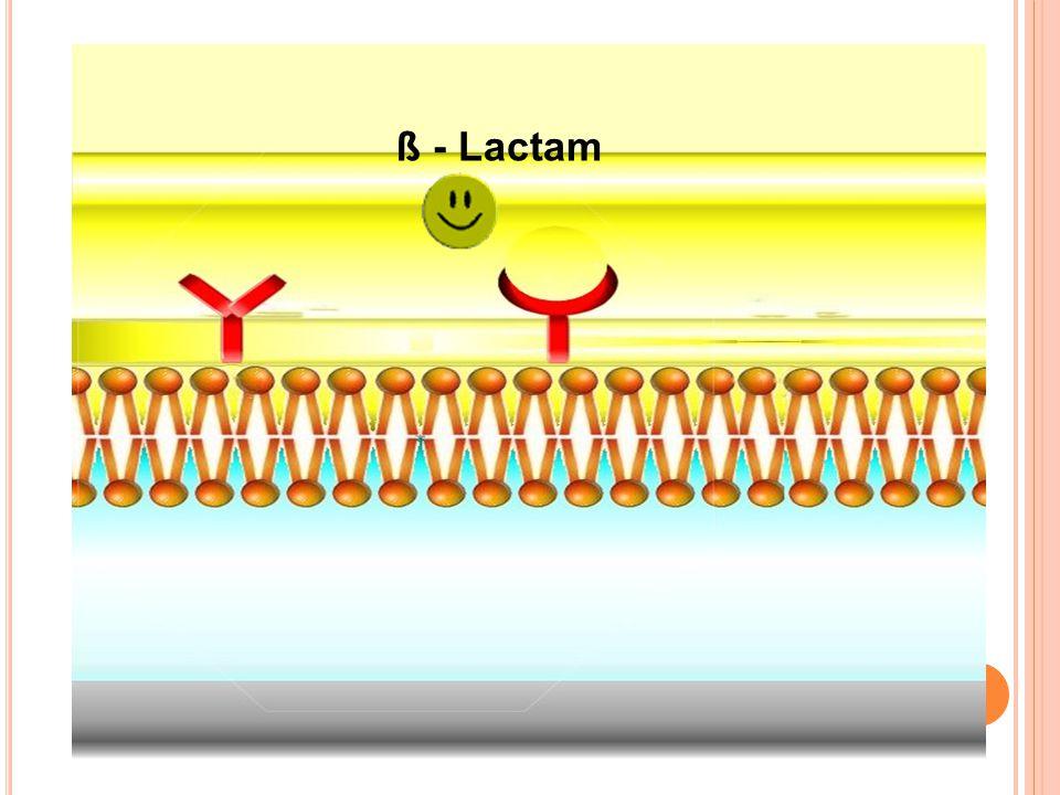 ß - Lactam