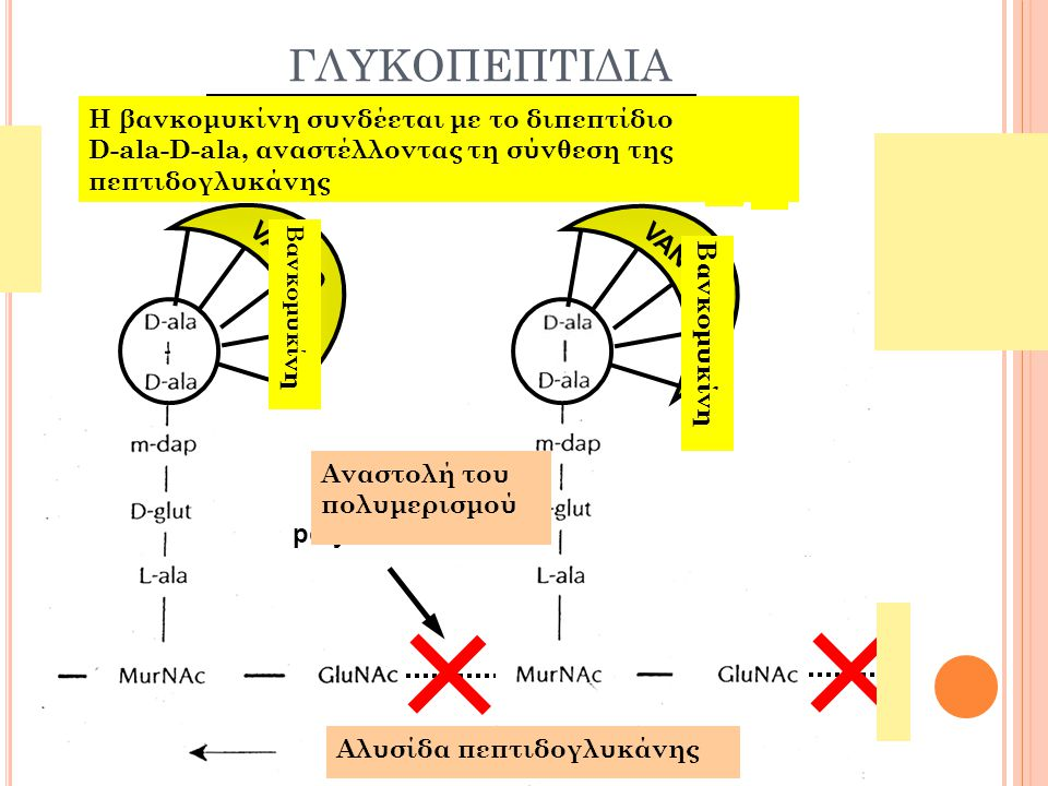 ΓΛΥΚΟΠΕΠΤΙΔΙΑ 15 Vancomycin binds to D-ala-D-ala;