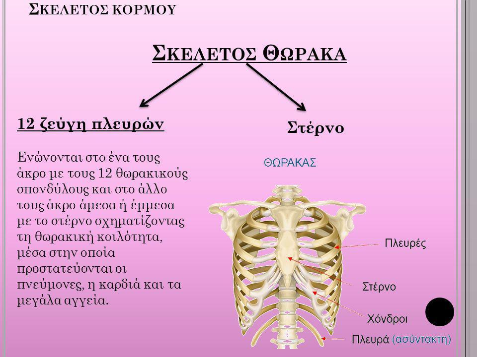 Σκελετοσ κορμου Σκελετοσ Θωρακα