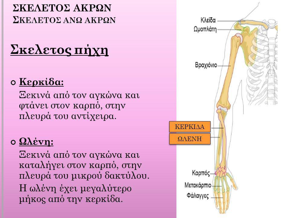 ΣΚΕΛΕΤΟΣ ΑΚΡΩΝ Σκελετοσ ανω ακρων
