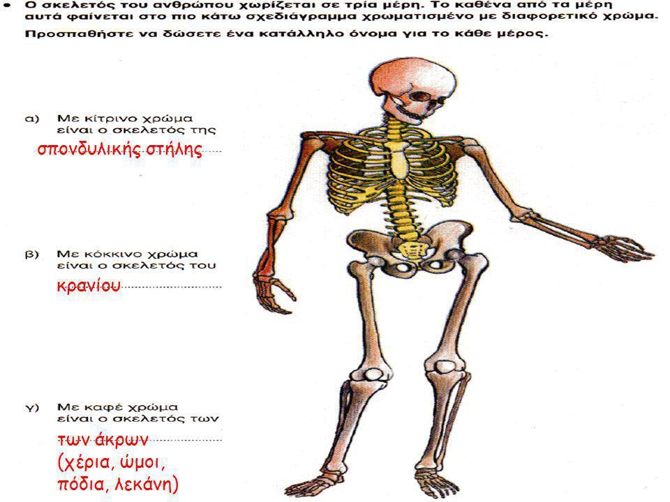 σπονδυλικής στήλης κρανίου των άκρων (χέρια, ώμοι, πόδια, λεκάνη)