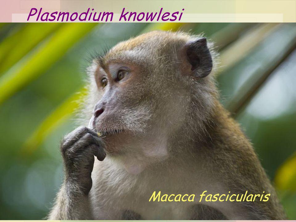 Plasmodium knowlesi Macaca fascicularis