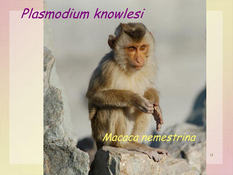 Plasmodium knowlesi Macaca nemestrina 12