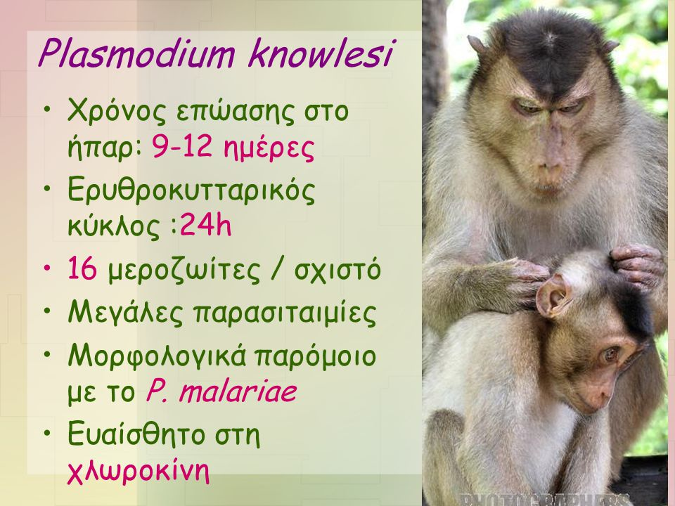 Plasmodium knowlesi Χρόνος επώασης στο ήπαρ: 9-12 ημέρες