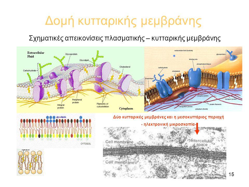 Δομή κυτταρικής μεμβράνης
