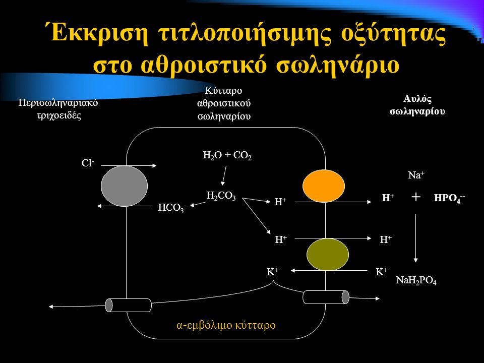 Έκκριση τιτλοποιήσιμης οξύτητας στο αθροιστικό σωληνάριο