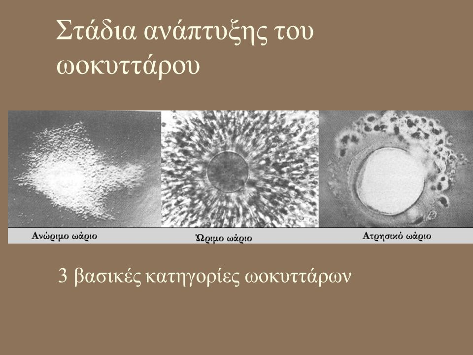 Στάδια ανάπτυξης του ωοκυττάρου