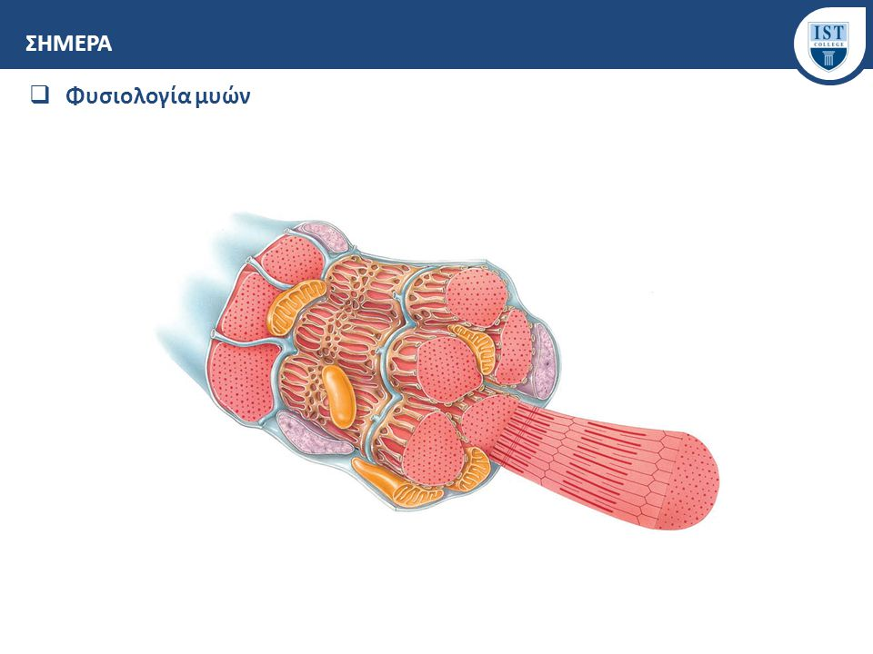 ΣΗΜΕΡΑ Φυσιολογία μυών