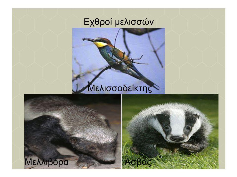 Εχθροί μελισσών Μελισσοδείκτης Μελλιβόρα Ασβός