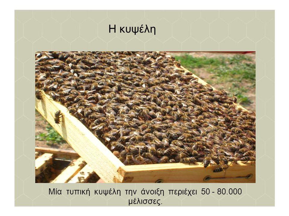 Μία τυπική κυψέλη την άνοιξη περιέχει 50 - 80.000 μέλισσες.