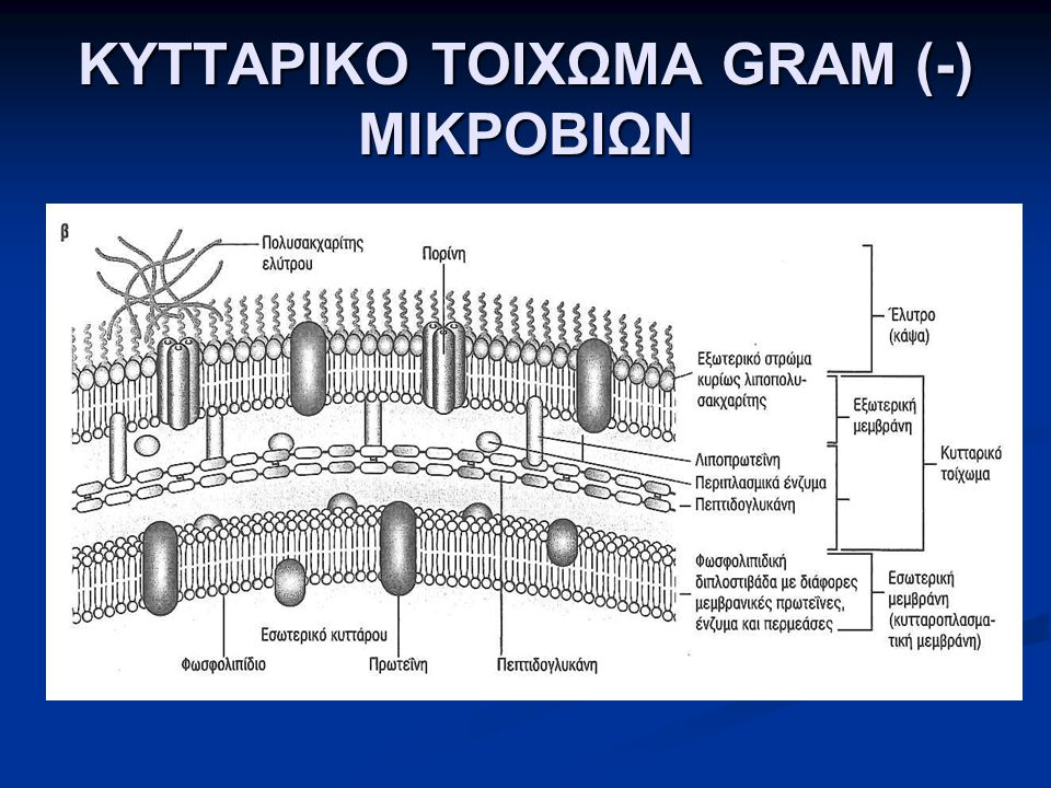 ΚΥΤΤΑΡΙΚΟ ΤΟΙΧΩΜΑ GRAM (-) ΜΙΚΡΟΒΙΩΝ