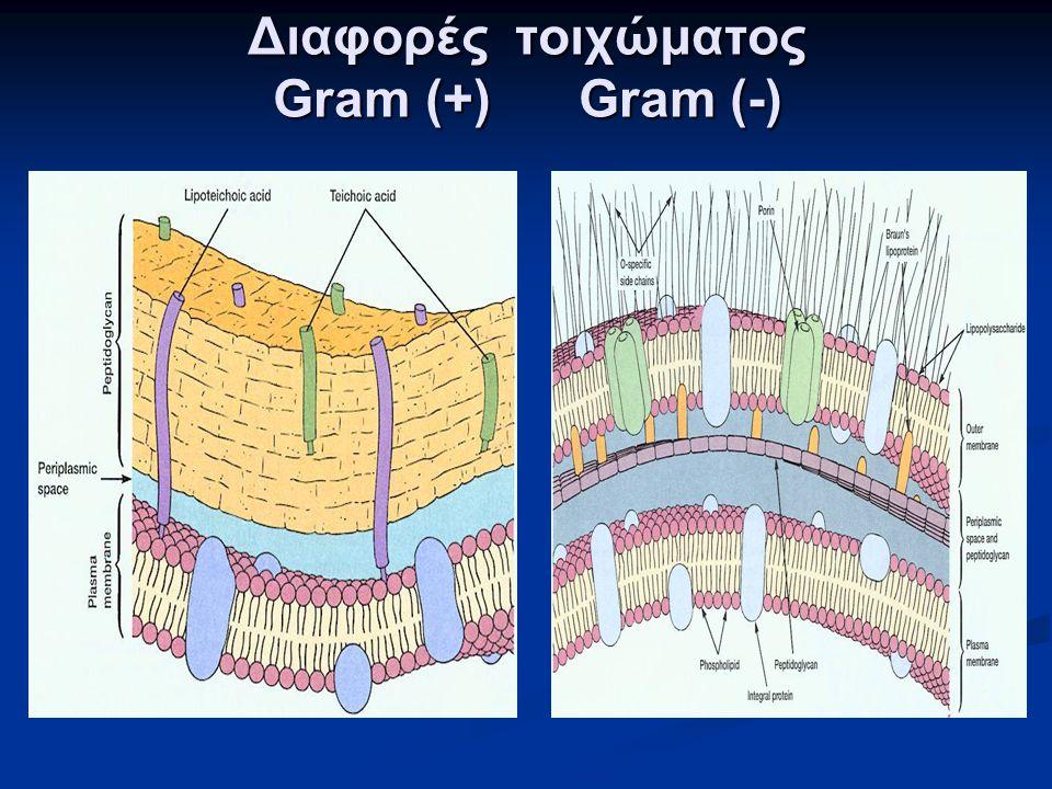 Διαφορές τοιχώματος Gram (+) Gram (-)
