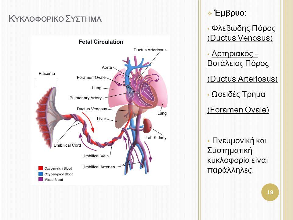 Κυκλοφορικο Συςτημα Έμβρυο: Φλεβώδης Πόρος (Ductus Venosus)