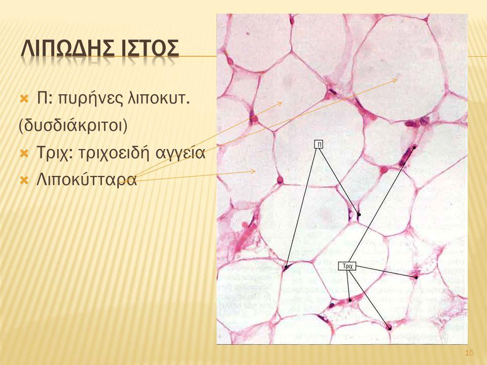 λιπωδησ ιστοσ Π: πυρήνες λιποκυτ. (δυσδιάκριτοι)