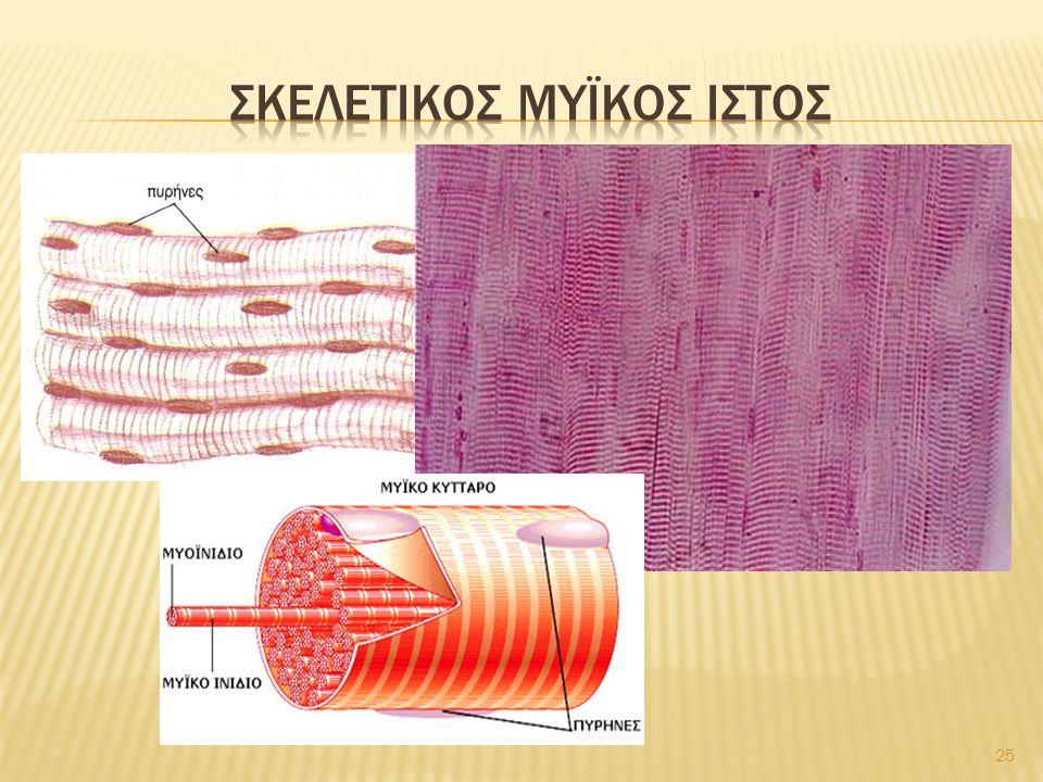 Σκελετικοσ μυϊκοσ ιστοσ