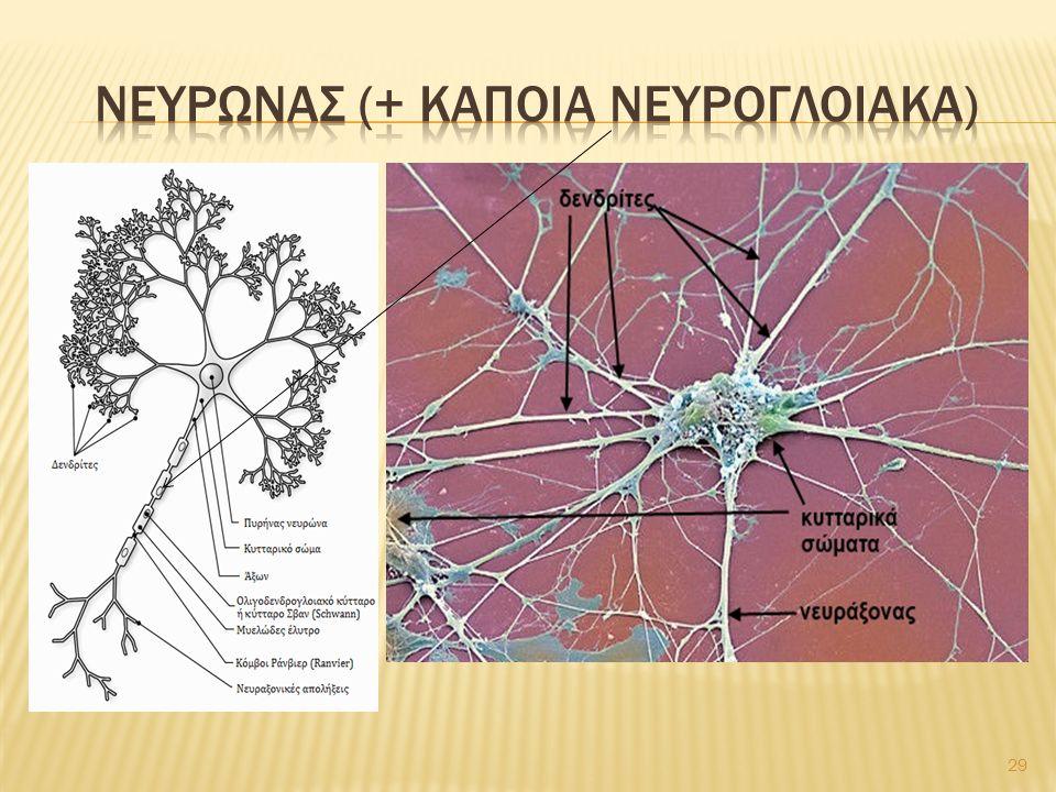 ΝευρωνΑσ (+ καποια νευρογλοιακα)