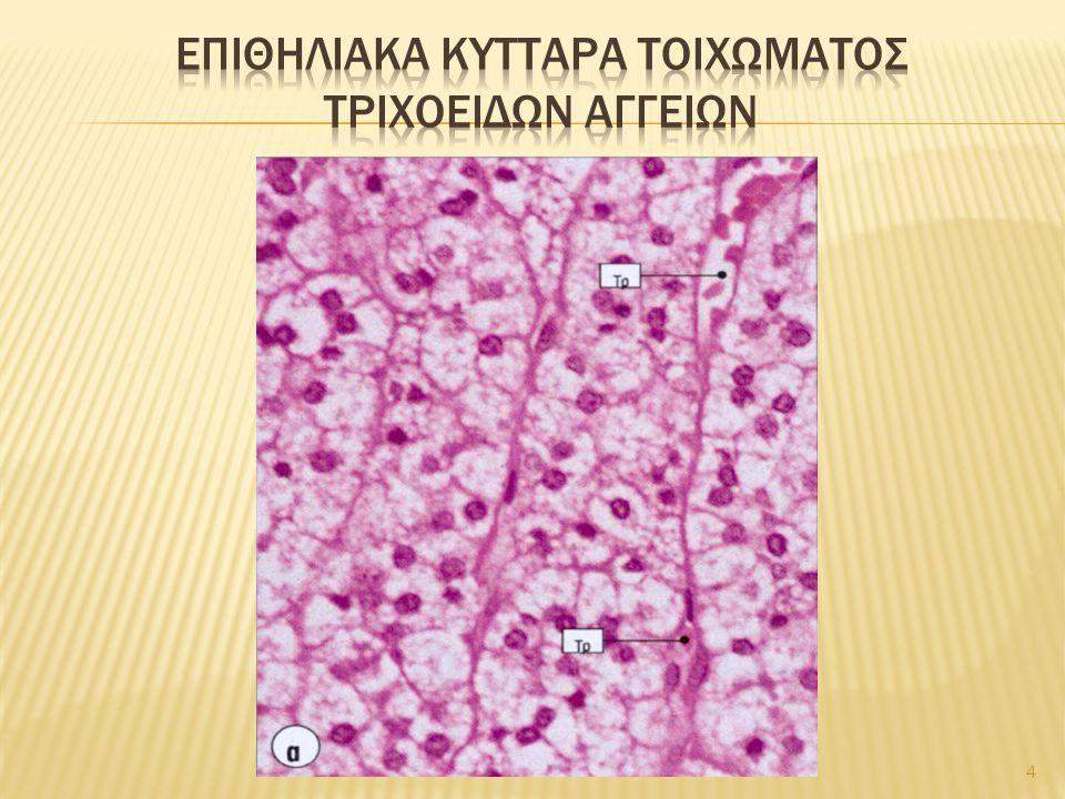 Επιθηλιακα κυτταρα τοιχωματοσ τριχοειδων αγγειων