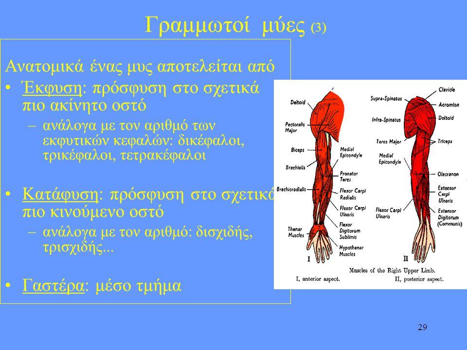 Γραμμωτοί μύες (3) Ανατομικά ένας μυς αποτελείται από