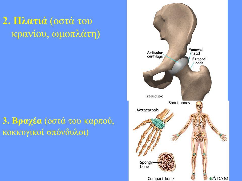 2. Πλατιά (οστά του κρανίου, ωμοπλάτη)
