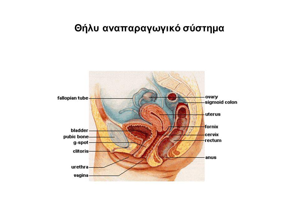 Θήλυ αναπαραγωγικό σύστημα