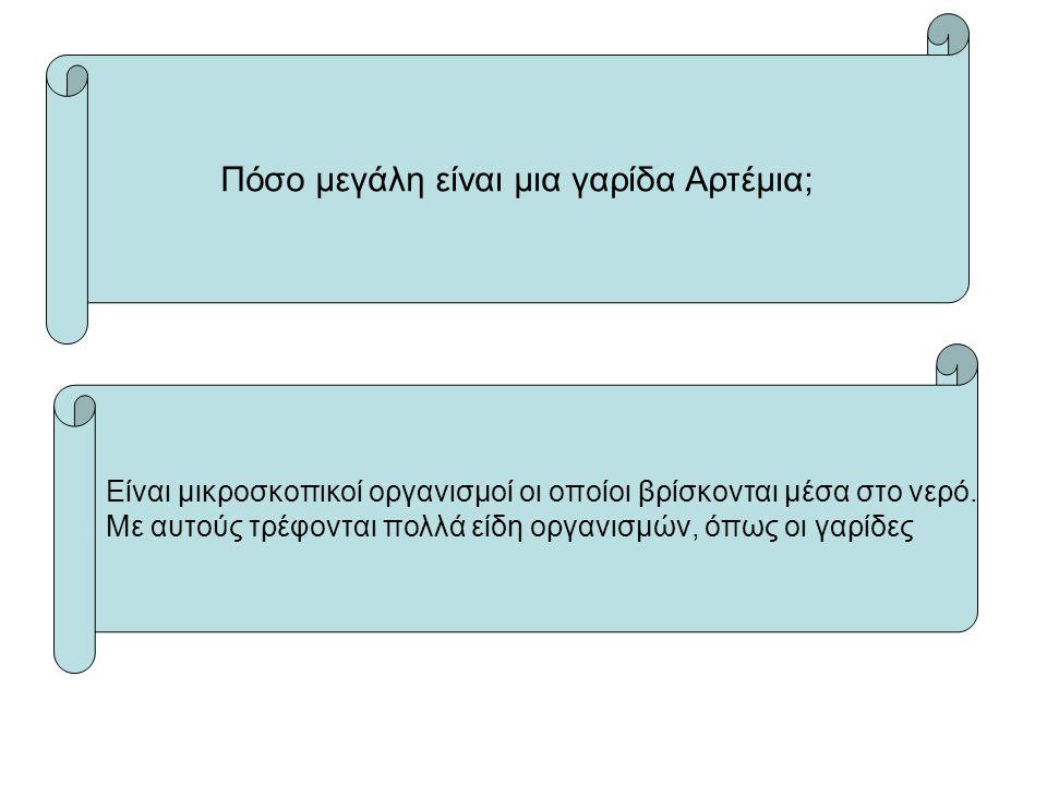 Πόσο μεγάλη είναι μια γαρίδα Αρτέμια;